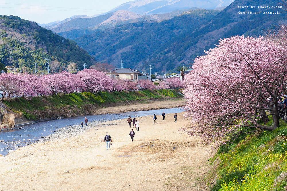 東京近郊⎮伊豆河津櫻 早一步欣賞日本櫻花