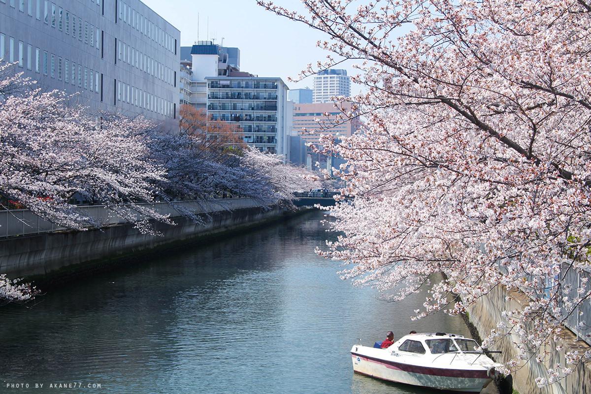 清澄白河公園旁 櫻花