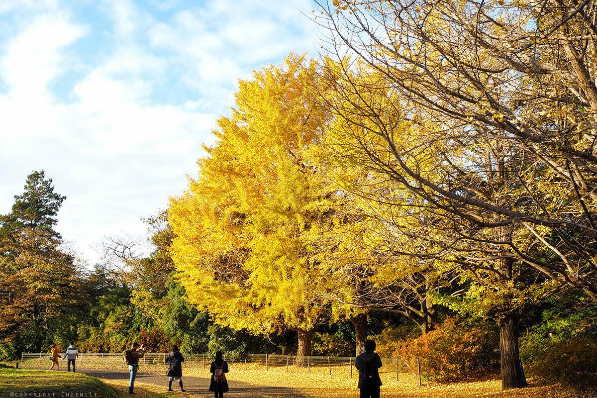 國營昭和紀念公園銀杏大樹