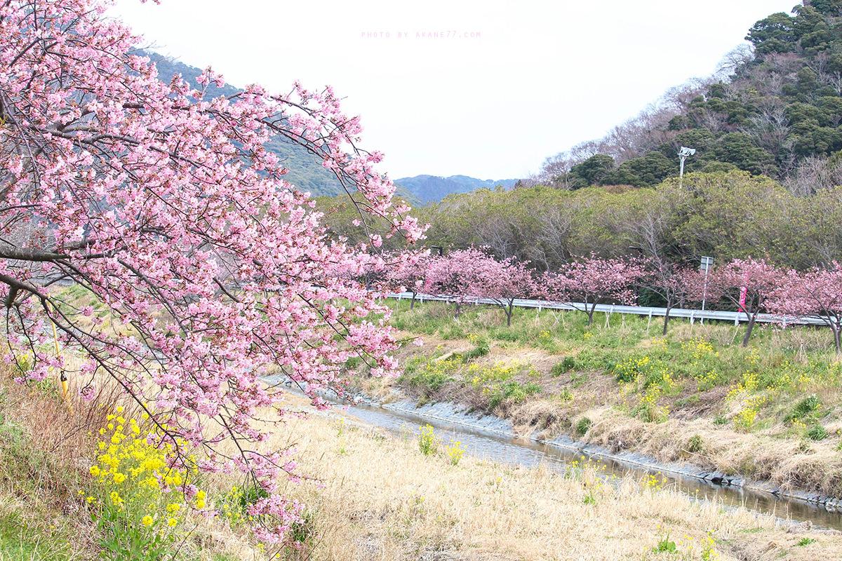 千葉保田小學 賴朝櫻櫻花