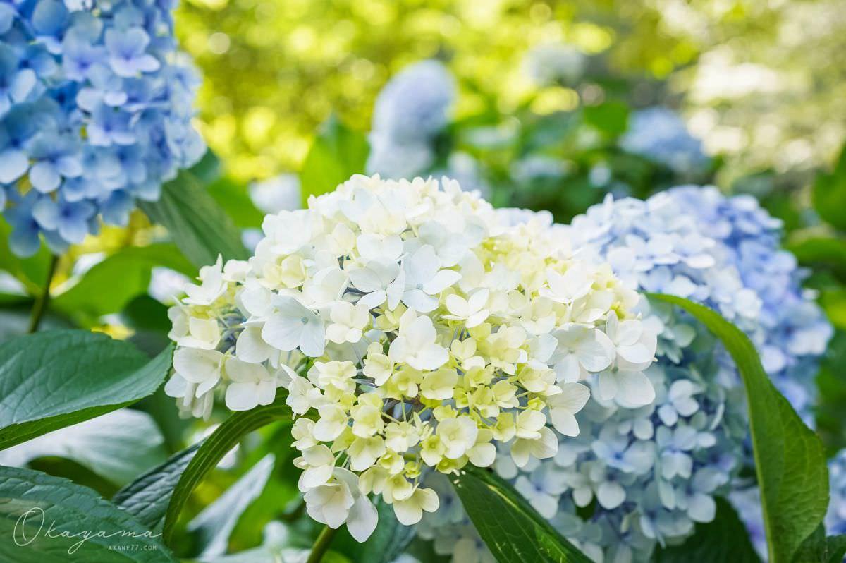 岡山吉貝津神社 繡球花