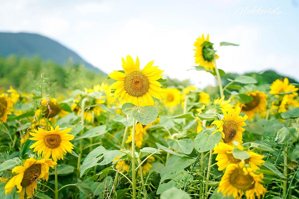 二世谷景點高橋牧場 向日葵