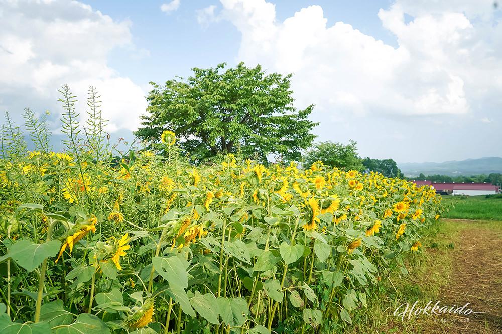 二世谷景點高橋牧場午餐 向日葵
