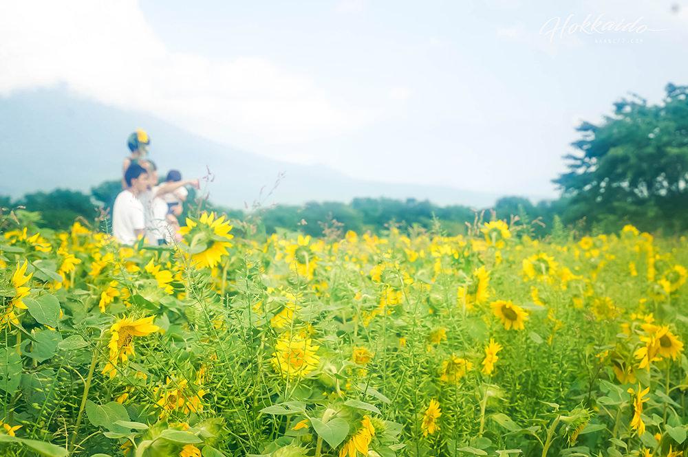 二世谷景點高橋牧場午餐 向日葵花田
