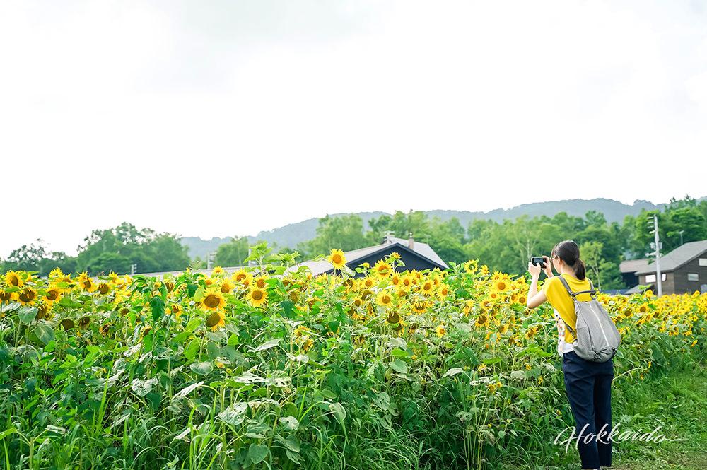 二世谷景點高橋牧場 夏天向日葵