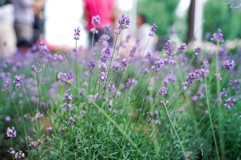 北海道夏天必去景點!富良野「富田農場」薰衣草