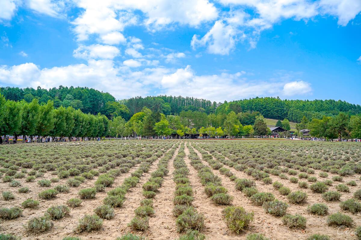 北海道夏天必去景點!富良野薰衣草「富田農場」