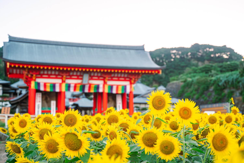 千葉景點夏季向日葵花田