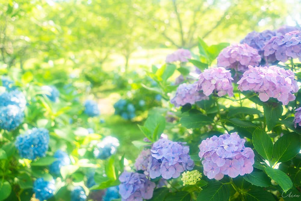 千葉縣賞花景點 野見金公園