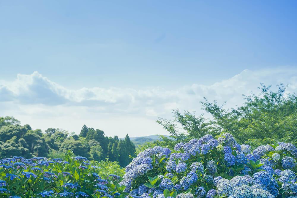 千葉景點「野見金公園」千朵繡球花構成的夢幻絕景!