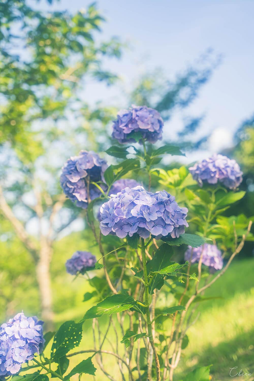 東京近郊千葉賞花景點「野見金公園」繡球花