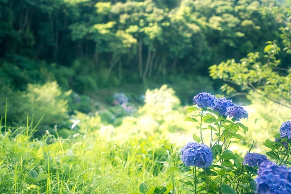 東京近郊千葉賞花景點「野見金公園」繡球花2