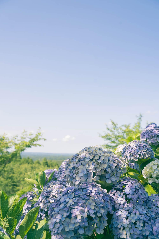 東京近郊千葉賞花景點「野見金公園」繡球花3