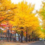 北海道大學銀杏大道