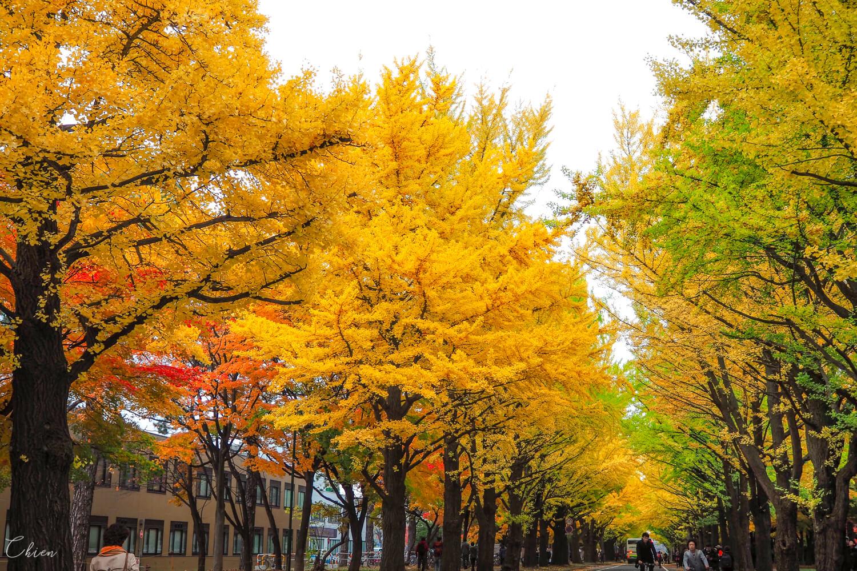 札幌景點 北海道大學銀杏大道