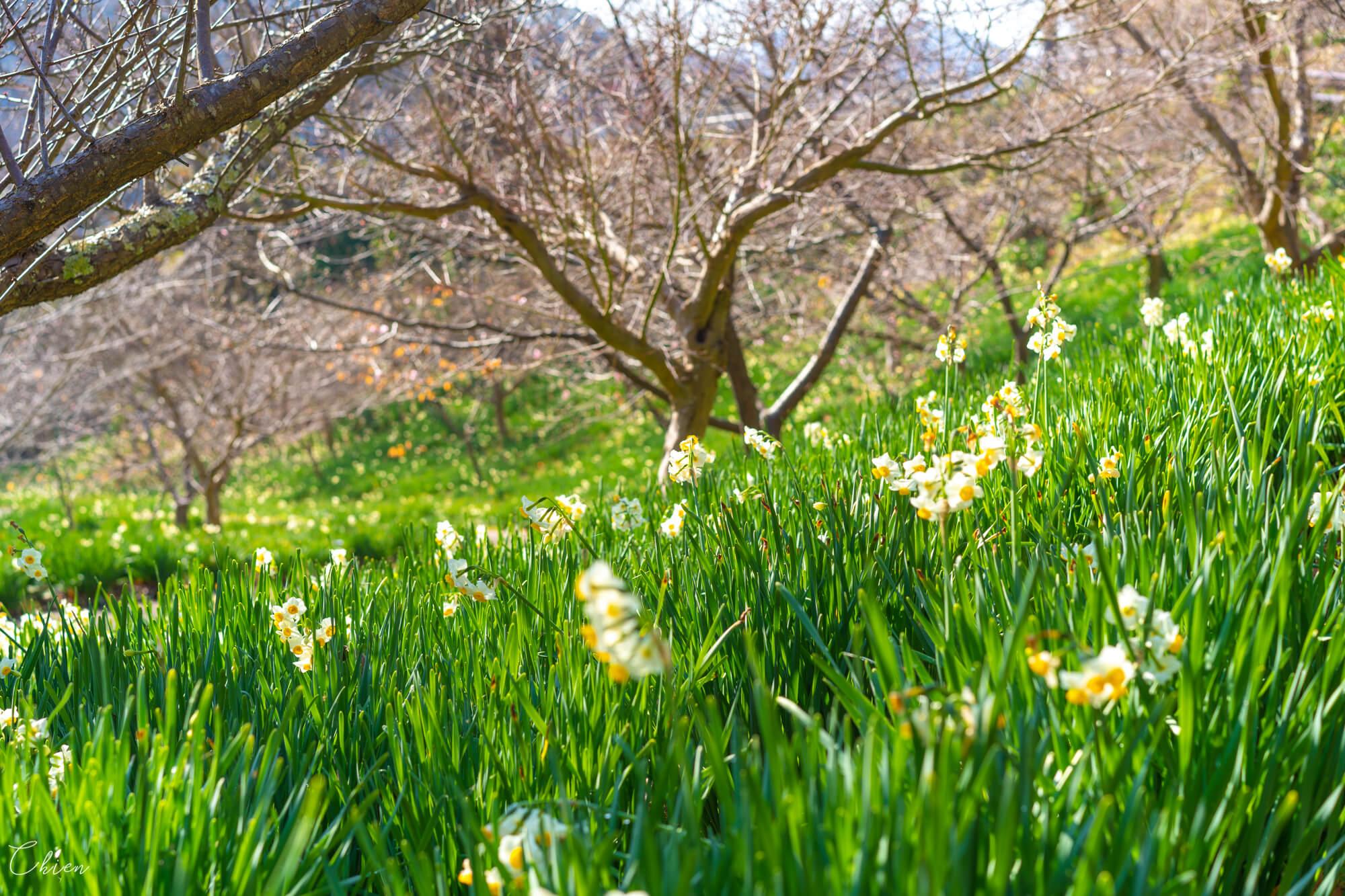 千葉南部春季賞花景點 鋸南佐久間川水仙花