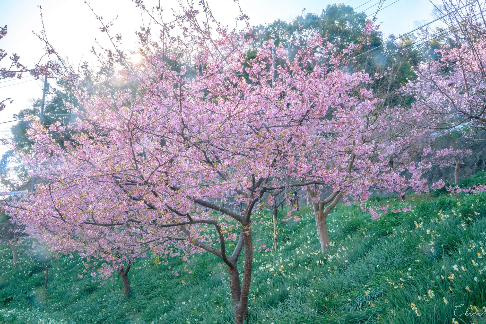 千葉南部春季賞花景點 鋸南佐久間川