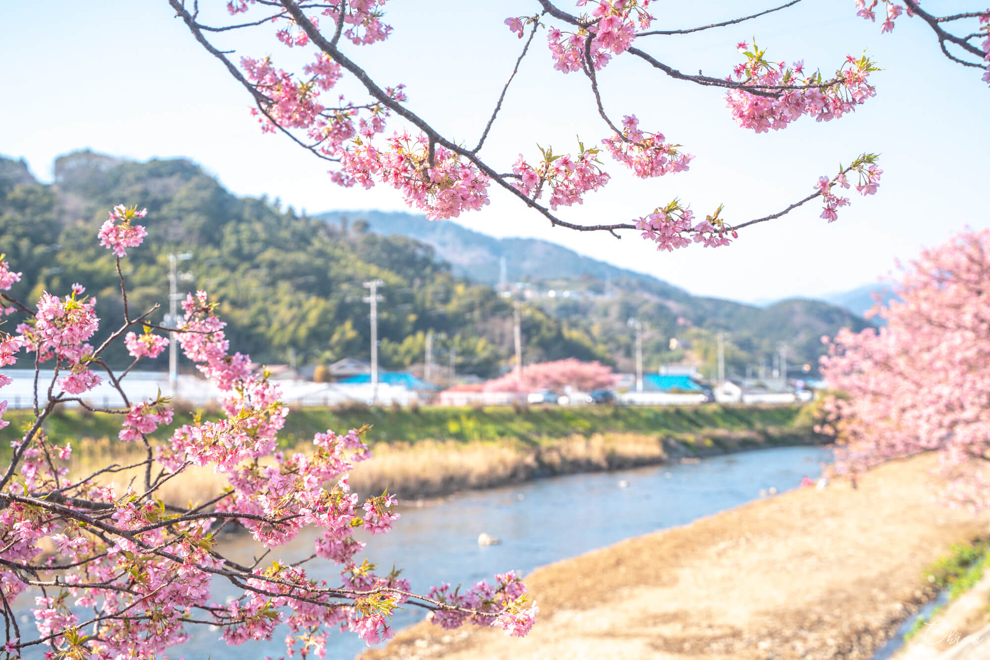 伊豆靜岡 河津櫻早春櫻花
