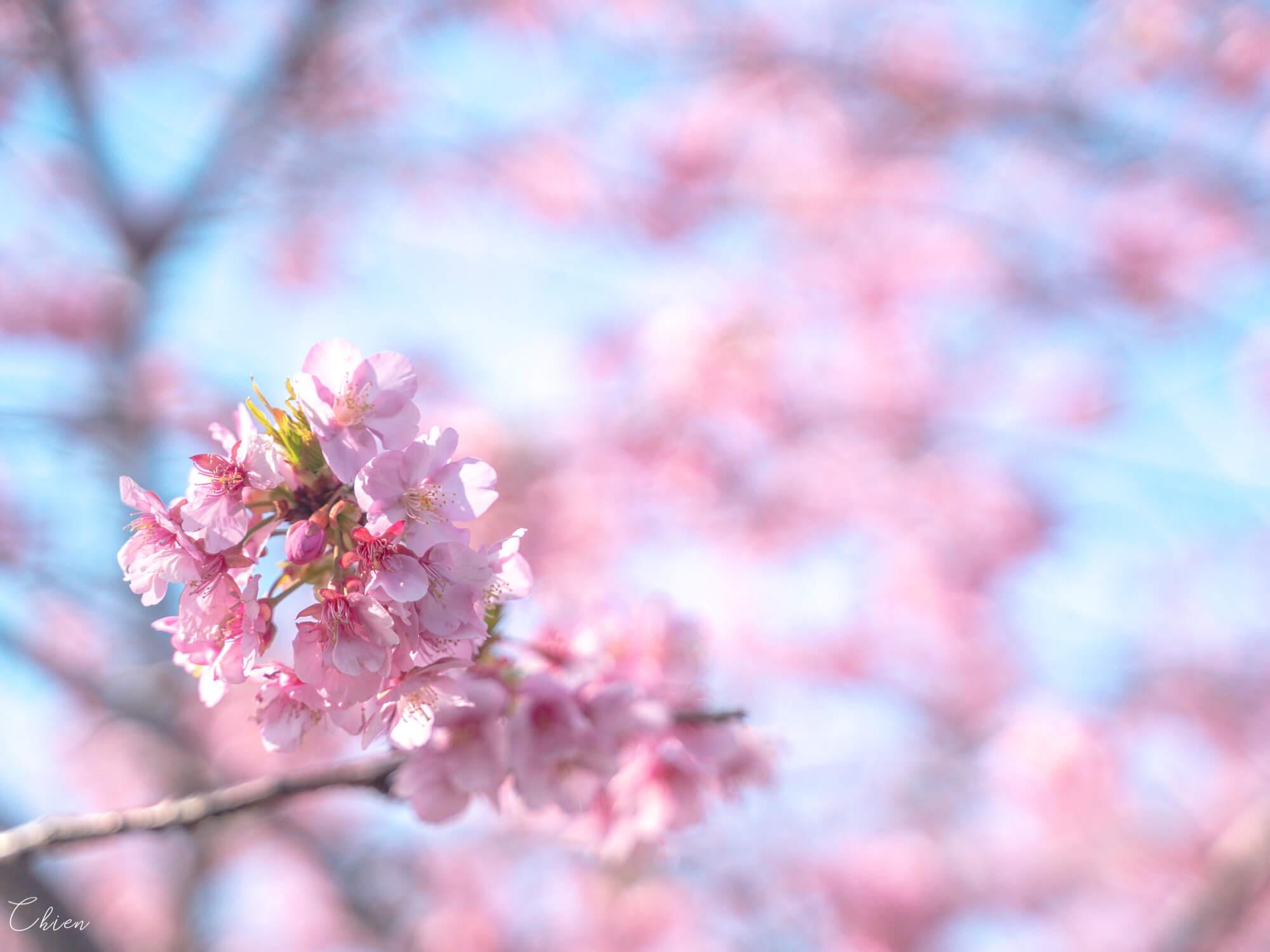 伊豆靜岡 河津櫻春天櫻花