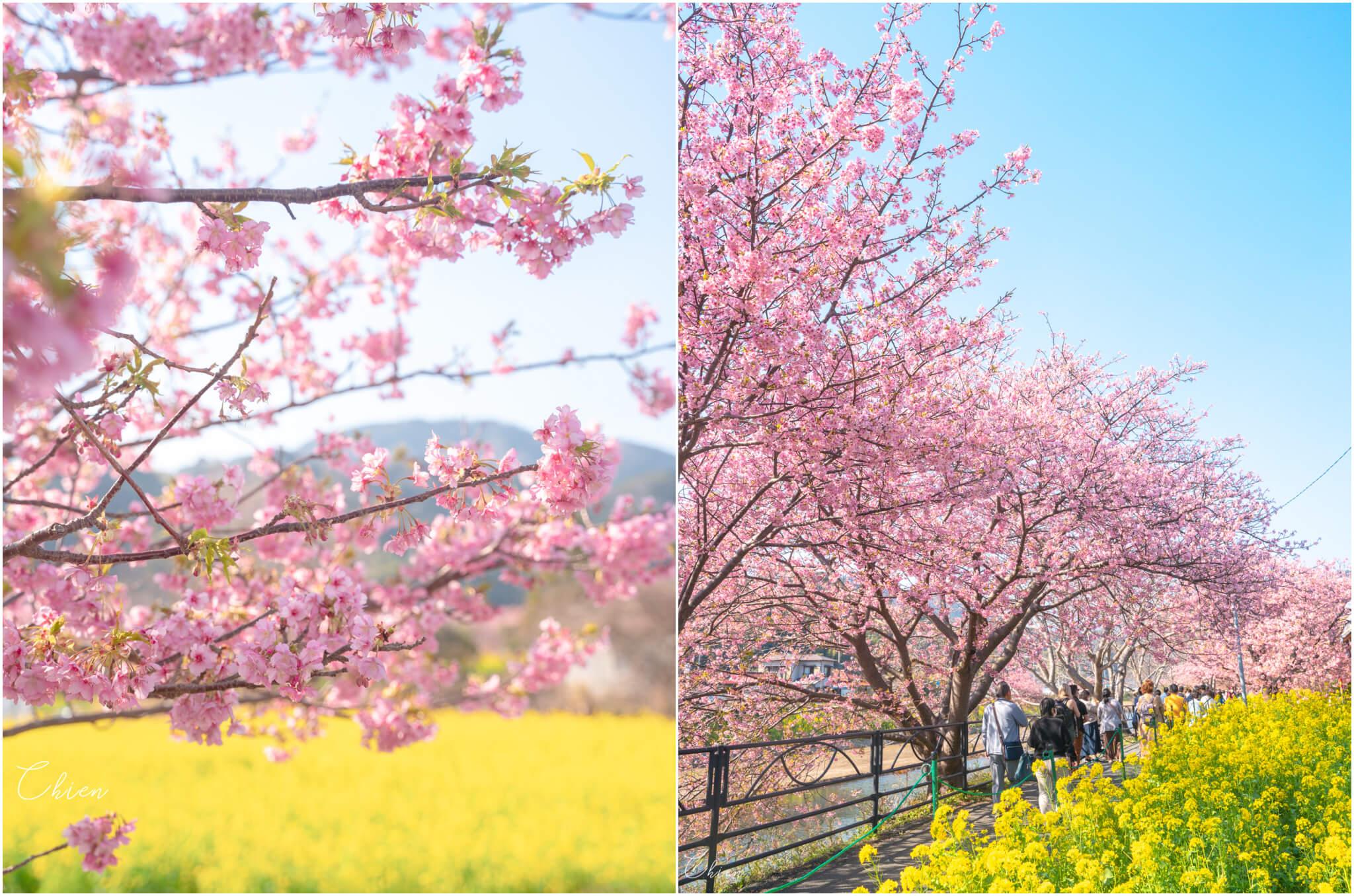 東京近郊伊豆靜岡 河津櫻櫻花油菜花