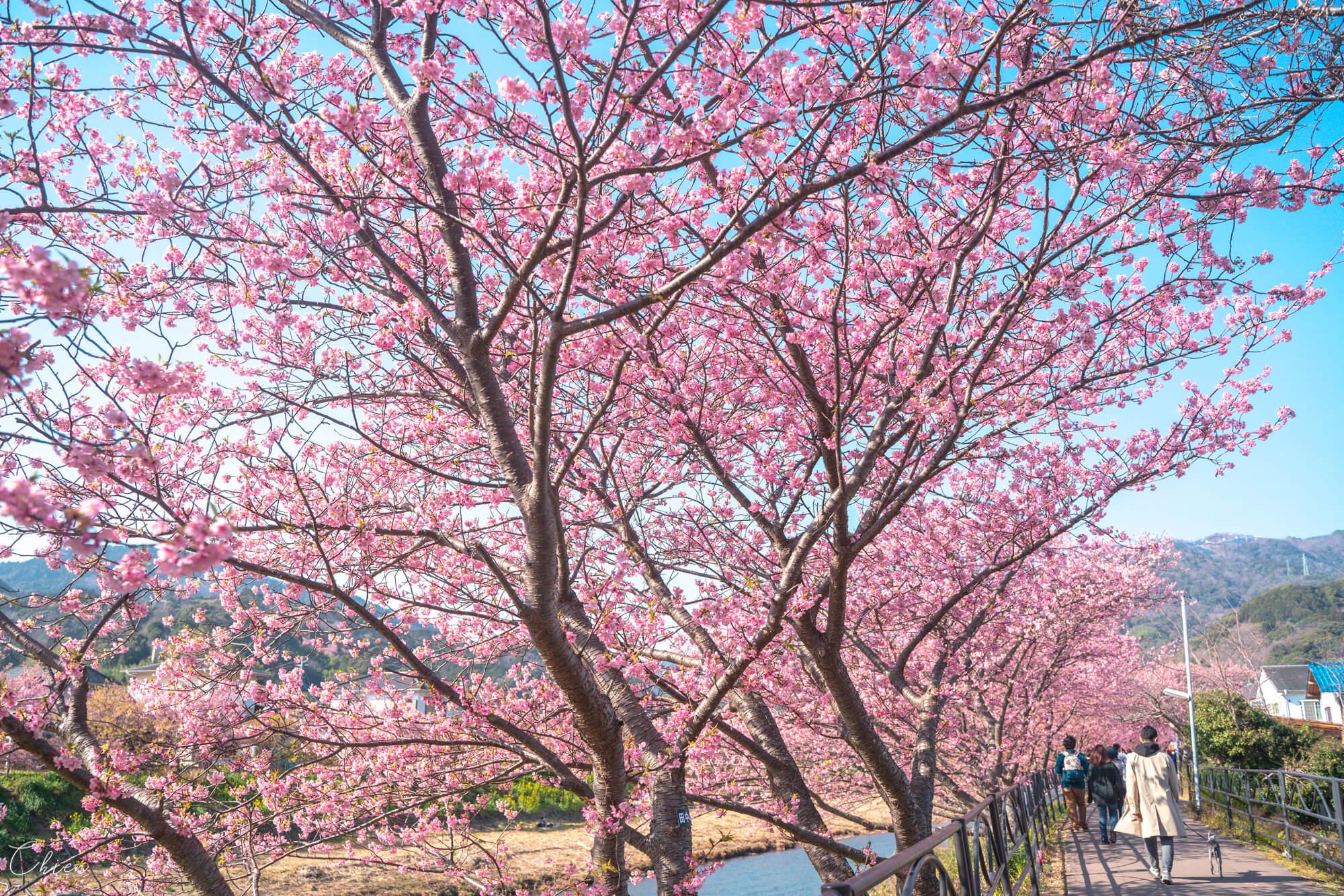 東京近郊伊豆靜岡 河津櫻櫻花賞櫻