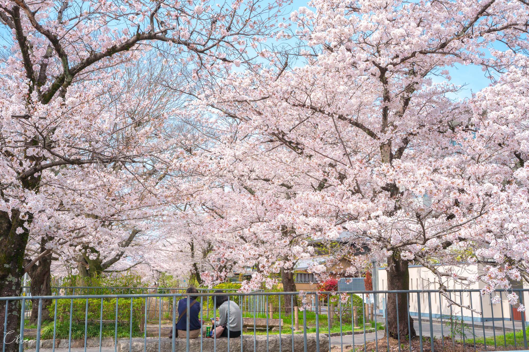 京都賞櫻景點 哲學之道櫻花綻放