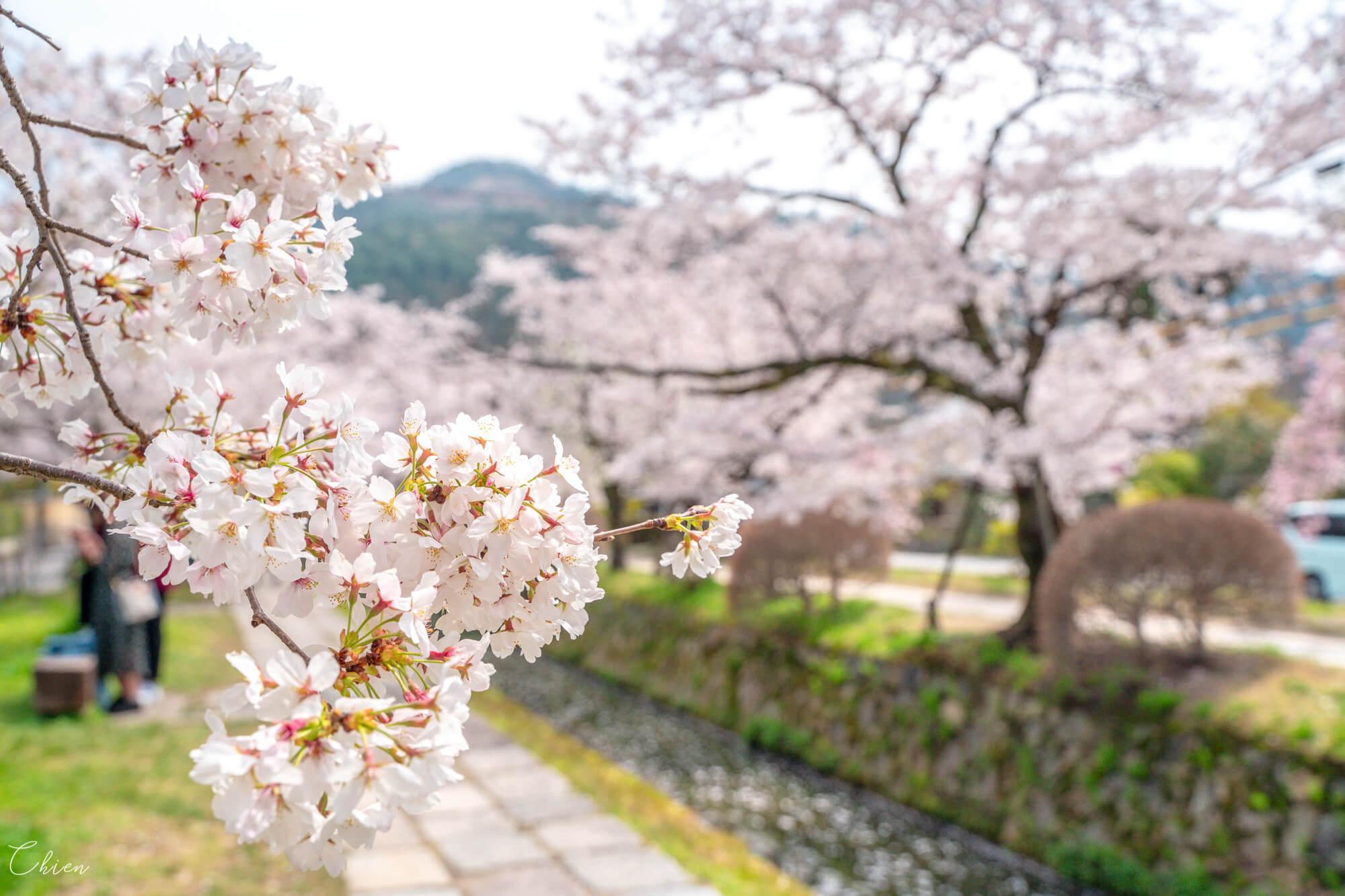 京都賞櫻景點 哲學之道櫻花種類