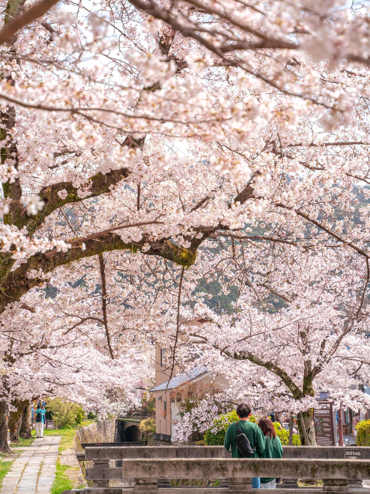 京都哲學之道 春天賞櫻花景點