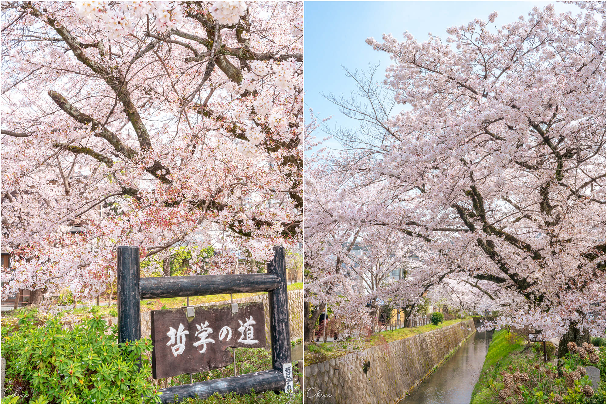 京都賞櫻景點 哲學之道櫻花滿開