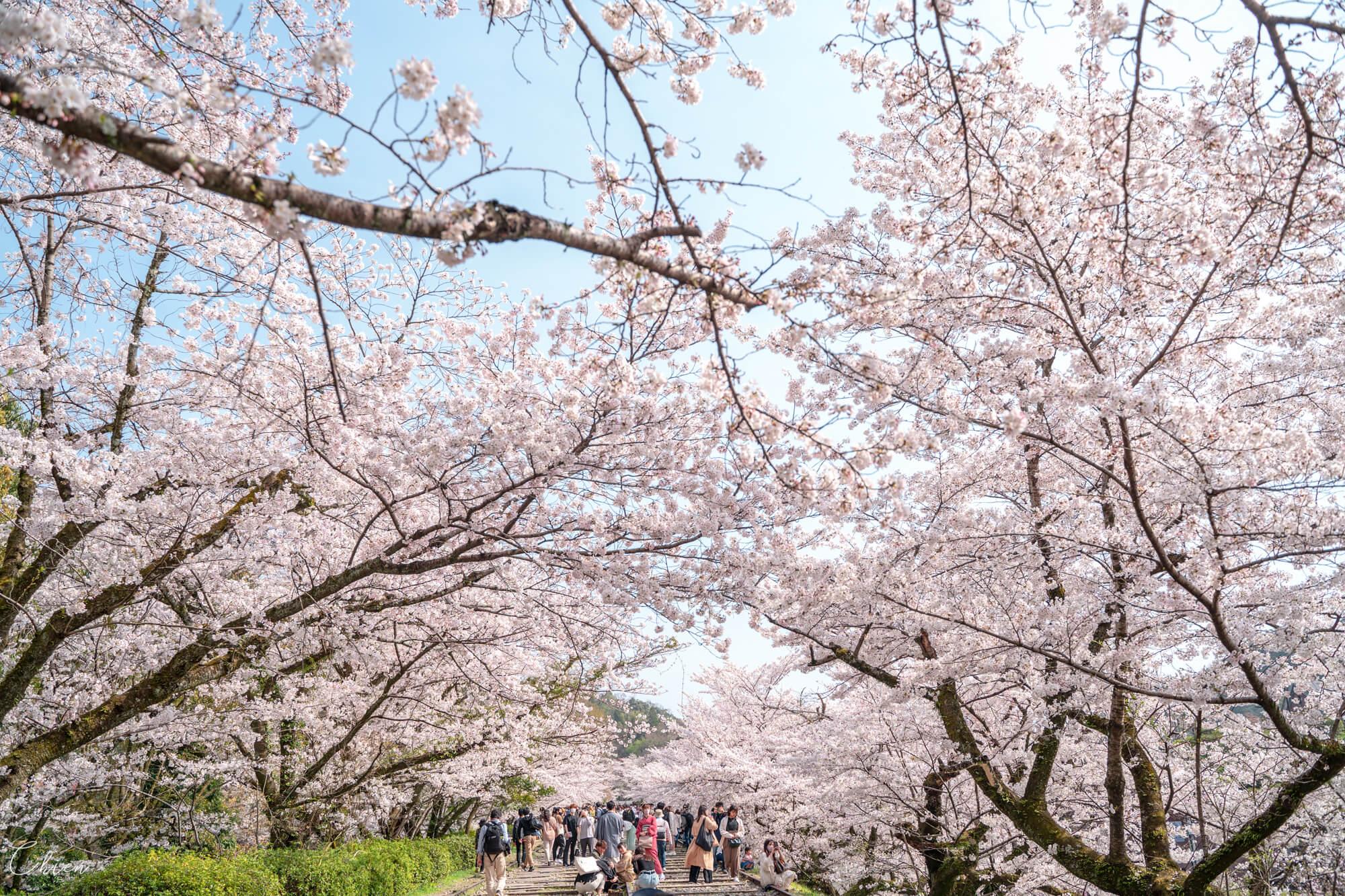 京都賞櫻景點 蹴上鐵道櫻花散步道
