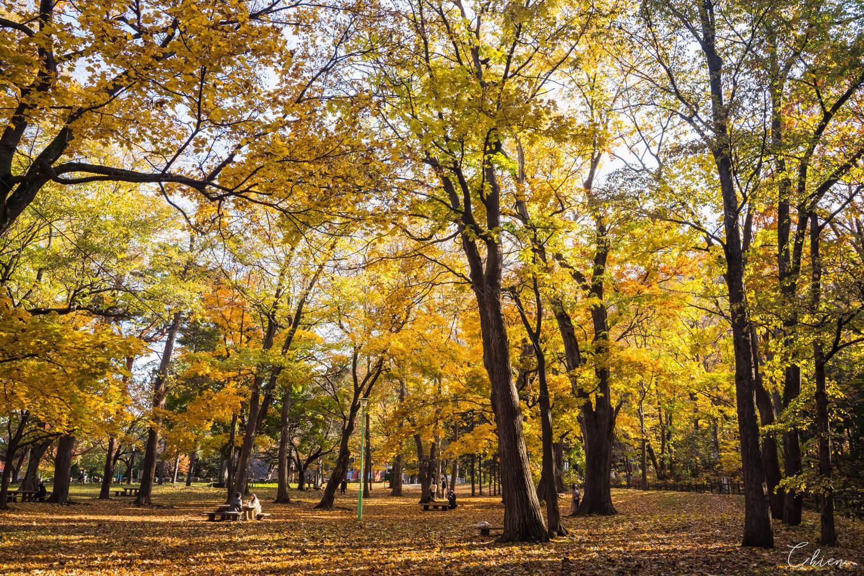北海道札幌「銀杏景點」推薦 秋季 圓山公園