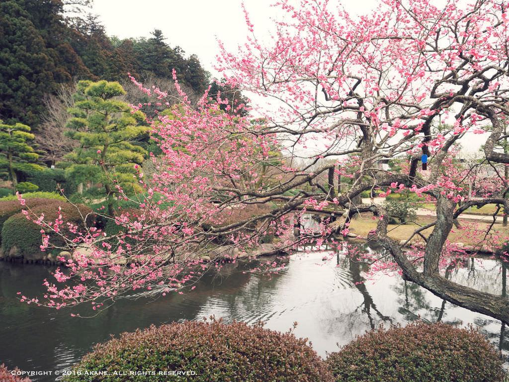 【茨城水戶】日本遺產認定 3大名園-偕樂園 三月梅花祭